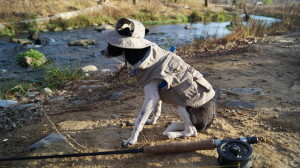 photo of small black and white Chihuahua fishing on the Cumberland River in Kentucky