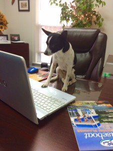 photo of black and white chihuahua writing on a laptop.  The Chihuahua is looking at the laptop screen. Lake Cumberland blog post.