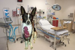 photo of a black and white Chihuahua in a dr. outfit in a surgery room